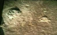 The trilobite fossil, supposedly crushed beneath the 'footprint'.